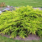 juniperus old gold 1