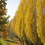 jablan drvored u jesen