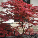 acer palmatum atropurpreum