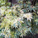 acer palmatum butterfly1