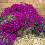 aubrieta red purple1