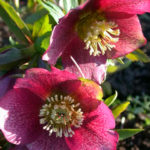 helleborus red spotted - kukurek