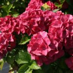 hortenzija red baron