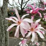 magnolija leonard messel1