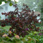 Coryllus avellana Red Majestic