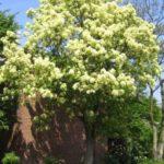fraxinus ornus - crni jasen1