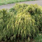 chamaecyparis pisifera filifera aurea