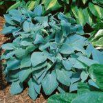 hosta fragrant blue
