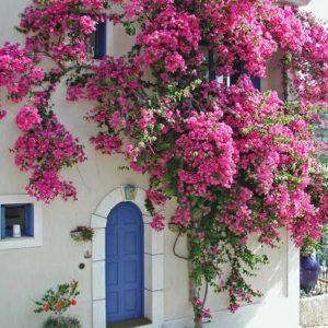 bungevilija roze