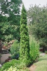 thuja occidentalis spiralis