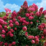 hydrangea paniculata diamond rouge