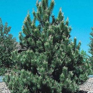 pinus nigra - crni bor