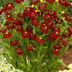 helenium ruby