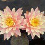 lokvanj sunny pink