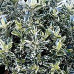 euonymus japonicum albomarginata