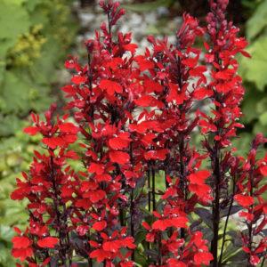 lobelia cardinalis mini