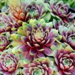 sempervivum ruby heart