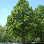 tilia americana redmond lipa