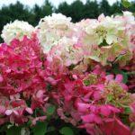 hortenzija belo ruzicasta
