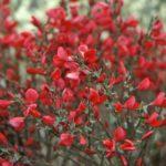 cytisus booskoop ruby