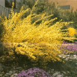 cytisus x all gold