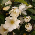 magnolija fairy cream