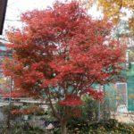 acer palmatum trompeburg