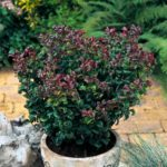 leucothoe curtly red