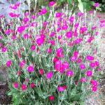 lichnis roze