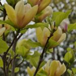magnolia sunsation1