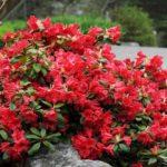 rododendron scarlet wonder1