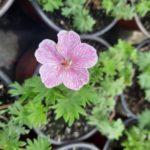 geranium svetlo roze niski