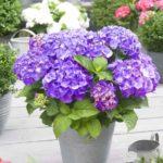 hydrangea-macrophhyila-little-purple