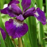 iris sibirica purple
