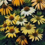 ehinacea purpurea mellow yellow