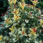 osmanthus-heterophyllus-goshiki