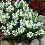 Prunella grandiflora alba1