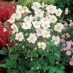 anemona x hybrida honorine jobert