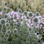 echinops-star-frost2