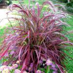 pennisetum alopecuroides fireworks1